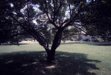 Large tree on campus lawn
