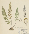 Cheilanthes
