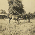 Two grazing horses
