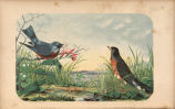Blue Bird and American Robin
