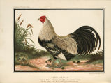 Illustrated Book of Poultry