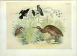 American Bittern and Red-winged Starling