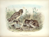 Rough Notes on the Birds Observed during Twenty-five Years' Shooting and Collecting in the British...